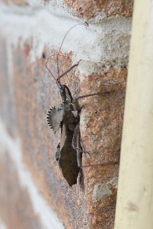 Adult wheel bug (Arilus cristatus), October 2018.